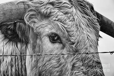 Cow Humorous Photograph - Let Me Go Free by John Farnan