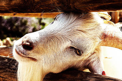 Middle East Photograph - Let Me Go I Am Goat by Yevgeni Kacnelson