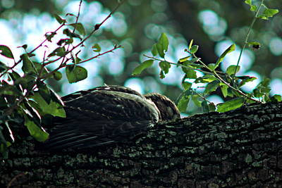 Photograph - Let Sleeping Hawks Lie by Greg Allore