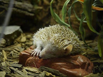 Photograph - Let Sleeping Hedgehogs Lie by Richard Reeve