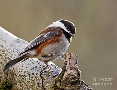 Photograph - Chestnut-backed Chickadee by Inge Riis McDonald