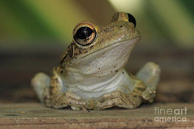 Photograph - Let's Talk - Cuban Treefrog by Meg Rousher