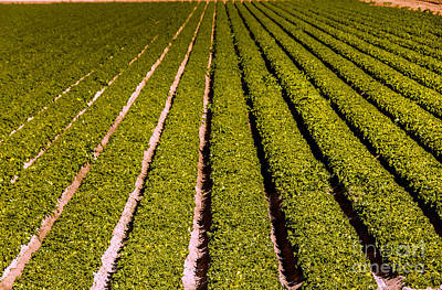 Lettuce Farming Art Print by Robert Bales