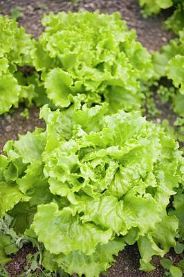 Lettuce Photograph - Lettuce In A Vegetable Bed by Foodcollection
