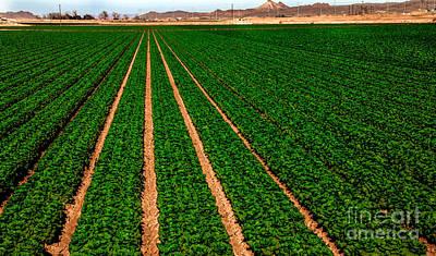Lettuce Photograph - Lettuce by Robert Bales