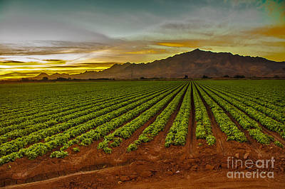 Romaine Lettuce Photograph - Lettuce Sunrise by Robert Bales