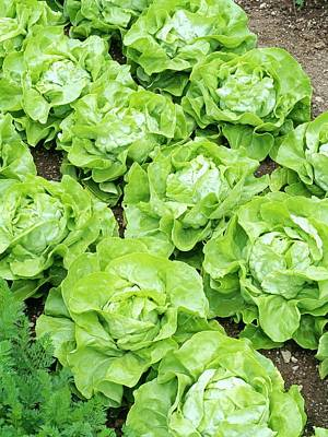 Lettuce Wall Art - Photograph - Lettuce 'unrivalled' by Geoff Kidd/science Photo Library