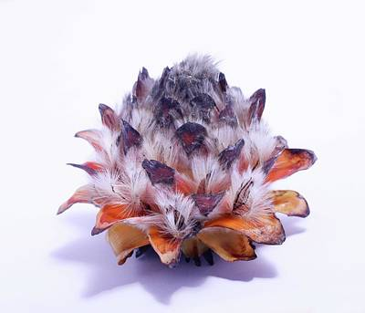 Leucadendron Album Open Seed Head Art Print