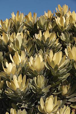 Leucadendron 'inca Gold' Original