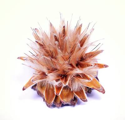South African Photograph - Leucadendron Rubrum Seed Head by Cordelia Molloy