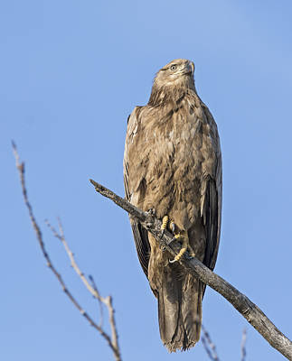 Bald Eagle Photograph - Leucistic Bald Eagle by Loree Johnson