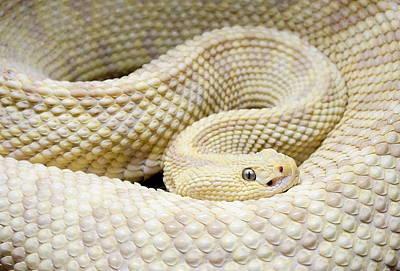 Photograph - Leucistic Snake by Rachel Munoz Striggow