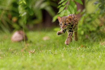 Levitating Leopard Cat Art Print