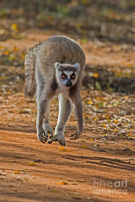 Lemur Catta Photograph - Levitation by Ashley Vincent