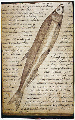 Drawing - Lewis & Clark Fish, 1800s by Granger