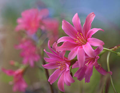 Lewisia Trevosia, Summer Colorado, Usa Art Print