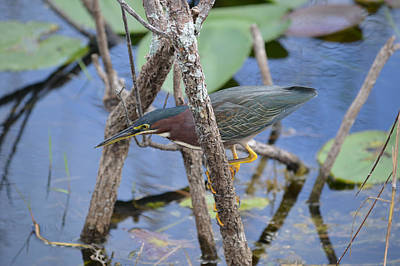 Photograph - Lgh Stands For Little Green Heron by rd Erickson