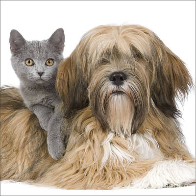 Chartreux Wall Art - Photograph - Lhasa Apso And Chartreux Kitten by Jean-Michel Labat