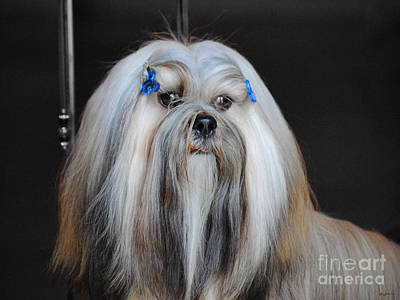 Photograph - Lhasa Apso by Jai Johnson