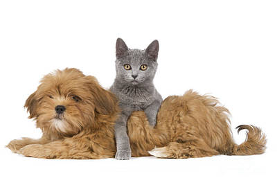 Chartreux Wall Art - Photograph - Lhasa Apso Pup And Kitten by Jean-Michel Labat