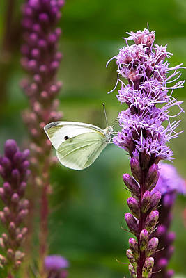 Violets Photograph - Liatris by Bill Wakeley
