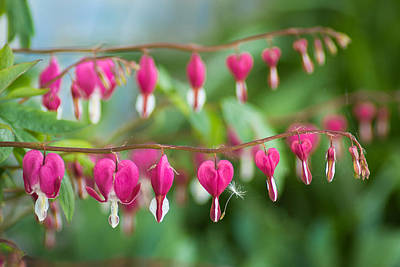 Photograph - Liberal Supply Of Bleeding Hearts by Bill Pevlor