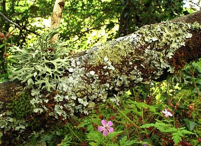 Crustose Photograph - Lichen Growing On Branch by Cordelia Molloy