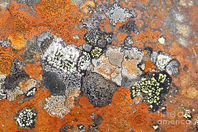 Photograph - Lichen Mosaic by Frank Townsley