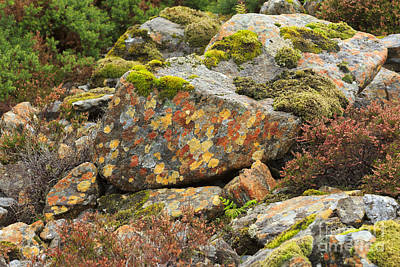 Crustose Photograph - Lichens And Moss In Glen Strathfarrar by Louise Heusinkveld
