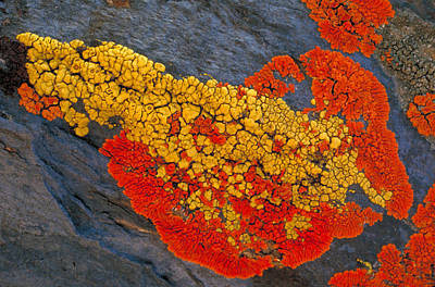 Crustose Photograph - Lichens On A Rock by Robert Lee