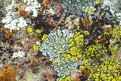 Of Lichens Photograph - Lichens On A Rock by William H. Mullins