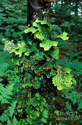 Of Lichens Photograph - Lichens On A Tree by Gregory G. Dimijian, M.D.