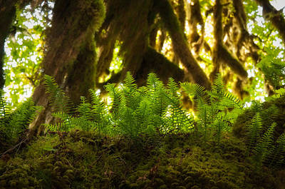 Pteridophyta Photograph - Licorice Fern by Rich Leighton