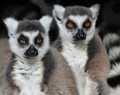 Photograph - Life Is Serious - Ring-tailed Lemurs by Margaret Saheed