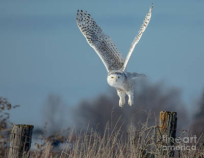 Owl Photograph - Lift Off by Cheryl Baxter