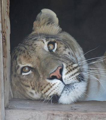 Photograph - Liger Daydreaming by Diane Alexander