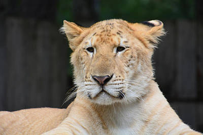 Photograph - Liger by Mike Martin