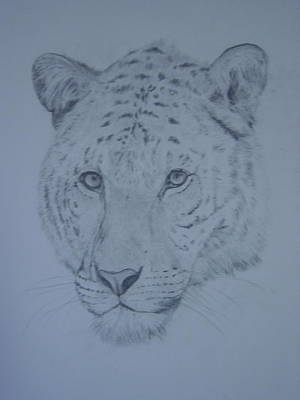 Liger Drawing - Liger by Paula Almquist