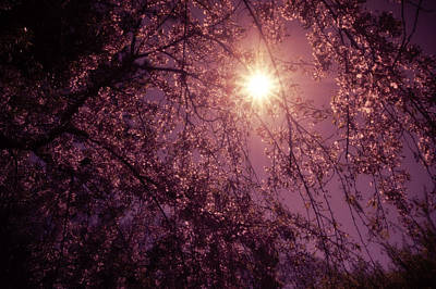 Spring Nyc Photograph - Light And Cherry Blossoms by Vivienne Gucwa