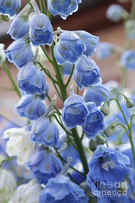 Photograph - Light Blue Delphiniums by Carol Groenen