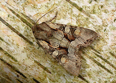 Light Brocade Moth Art Print by Nigel Downer