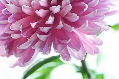 Floral Composition Photograph - Light Impression. Pink Chrysanthemum  by Jenny Rainbow