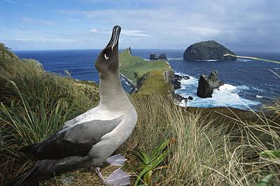 Light-mantled Albatross Sky-pointing Art Print