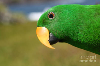 Eclectus Parrot Photograph - Light Of Love - Eclectus Parrot by Sharon Mau