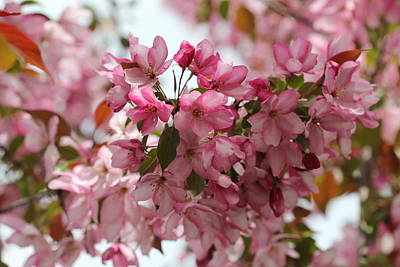 Photograph - Light On Pink Crabapple 2 by Donna Munro
