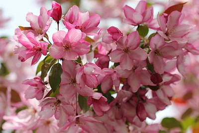 Photograph - Light On Pink Crabapple by Donna Munro