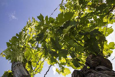 Grape Vine Photograph - Light On The Vines by Georgia Fowler