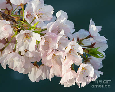 Photograph - Light Pink Blossoms-2 by Dale Nelson