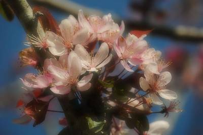Photograph - Light Pink Blossoms by Michele Kaiser