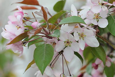 Photograph - Light Pink Crabapple by Donna Munro